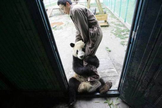 A young panda traumatised by an earthquake wants to be very close to her caretaker