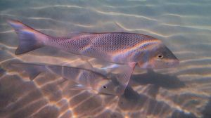 Population parameters from spangled emperor at Ningaloo reef were used to calibrate the model of environmental offsets needed to restore resilience. Credit: Mike van Keulen.