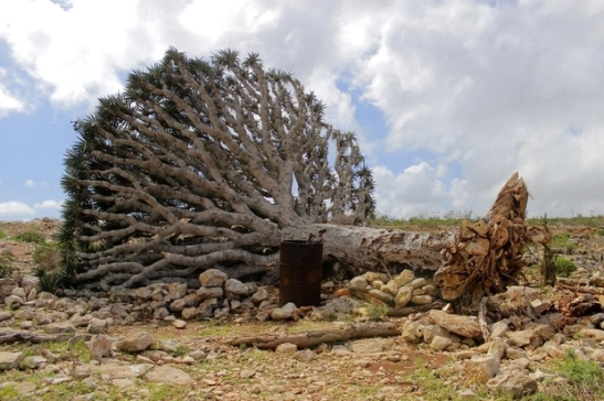 A Dragon's blood tree is seen on the ground after Megh hits Socotra Island on Tuesday (AA)  Image source:  http://www.middleeasteye.net/news/cyclone-megh-makes-landfall-yemen-kills-14-island-1678956105#sthash.yrwnbPTv.dpuf