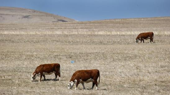 Cows look for something to graze on in a dry field in western Cape Town, South Africa. The global El Niño weather pattern is blamed for severe drought in southern Africa.   (Nic Bothma / European Pressphoto Agency)