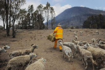 Millions of farm animals are thought to have been killed in natural disasters like bushfire.  AAP: Tracey Nearmy Source: http://www.abc.net.au/news/2013-09-24/firefighter-feeds-sheep/4977940