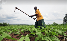 Bean farmer works in her plot of young bush beans (file photo).