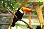 The toco toucan is the largest species in the toucan family and inhabits many regions of South America. (Photo by Olaf Oliviero Riemer)